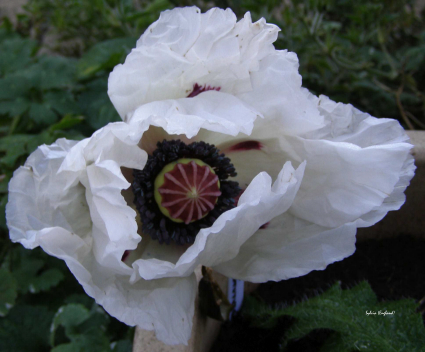Black And White Poppy Papaver Orientale And A Bit Of Cyclamen